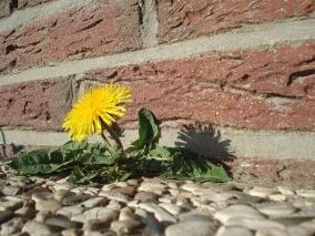 dandelion-16656_640